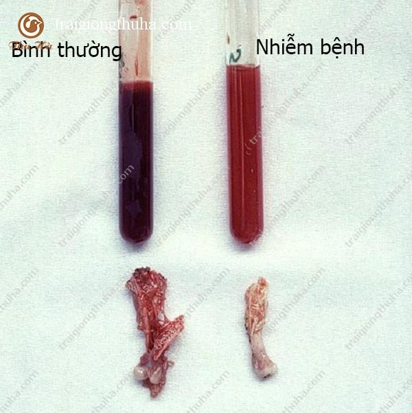 Biểu hiện của bệnh thiếu máu trên gà