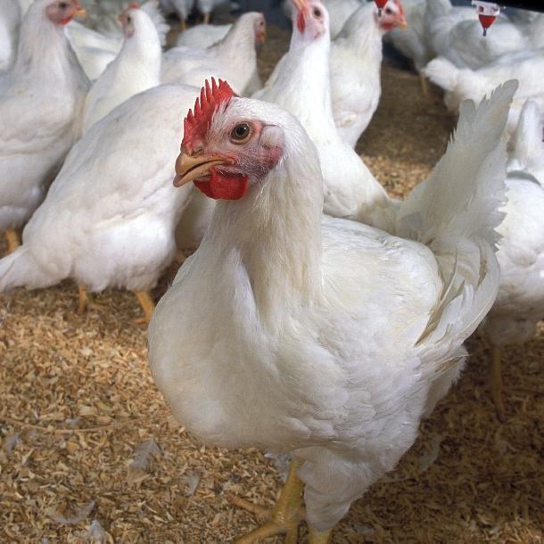 Chi phí sản xuất gà thịt tại một số nước ở châu Á