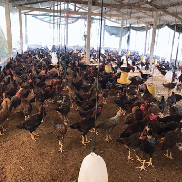 Chế độ dinh dưỡng giúp giảm lượng khí thải amoniac trong chuồng nuôi gà đẻ