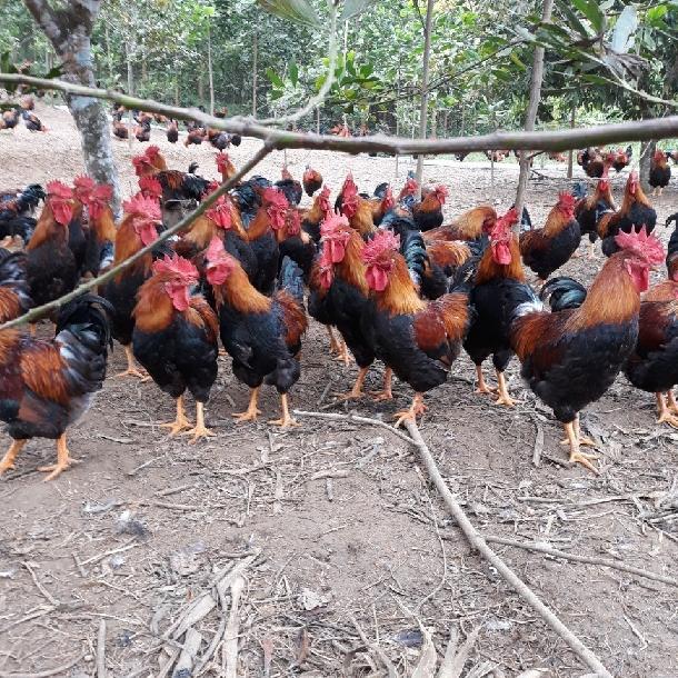 Cung cấp gà chíp tàu giống ( gà cúng, gà lễ)