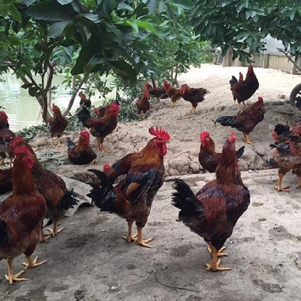 Giới thiệu một số giống gà đang được nuôi ở nước ta
