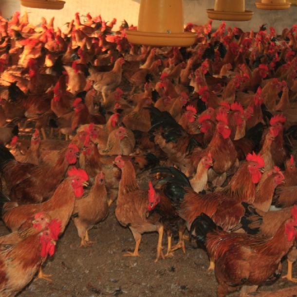 Hướng dẫn nuôi và chăm sóc gà ri