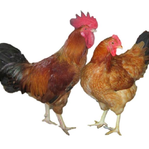 Các bệnh thường gặp ở gà ri
