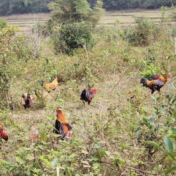 Những giống gà thả vườn phổ biến hiện nay