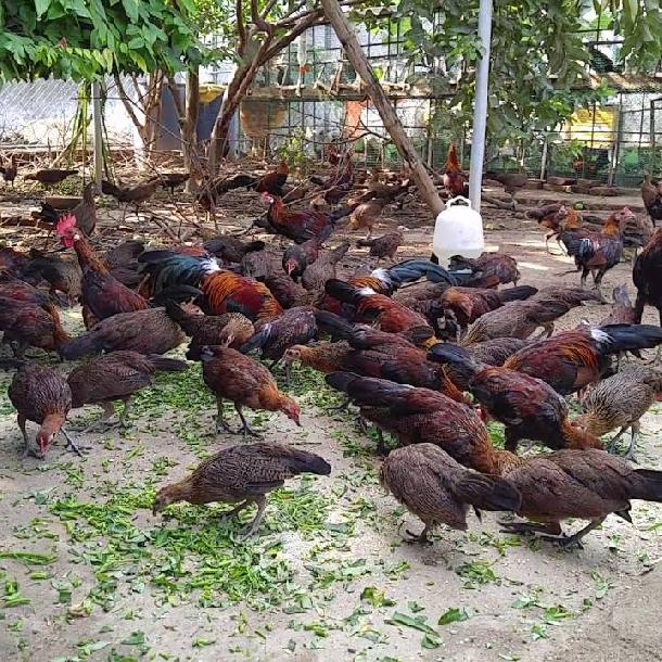 Các giống gà nuôi thả vườn cho thịt ngon