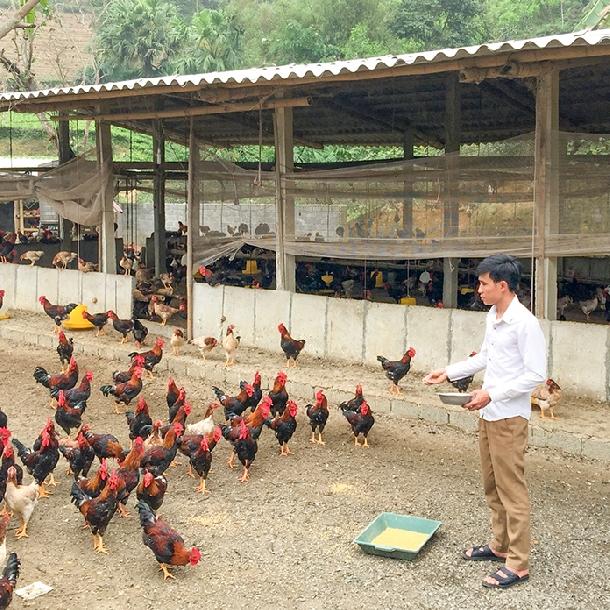 Hướng dẫn làm chuồng nuôi gà thả vườn hiệu quả