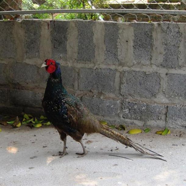 Hướng dẫn chăn nuôi chim trĩ đỏ