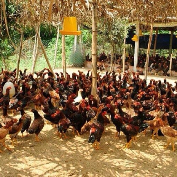 Quy trình nuôi và chăm sóc gà ta thả vườn