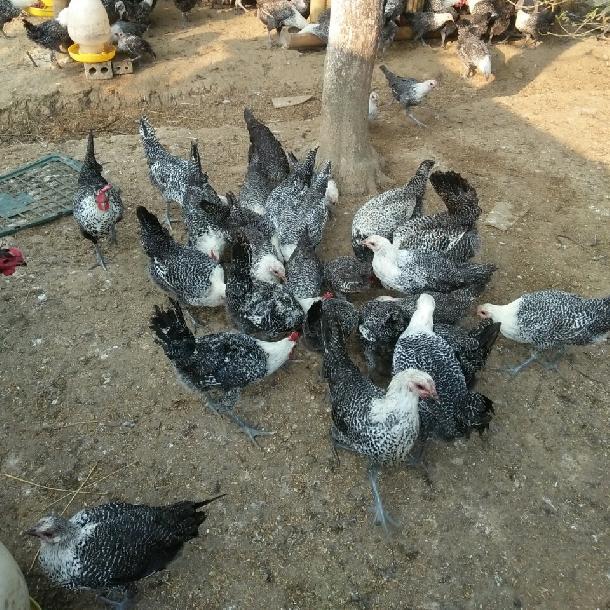 Đặc điểm gà ai cập