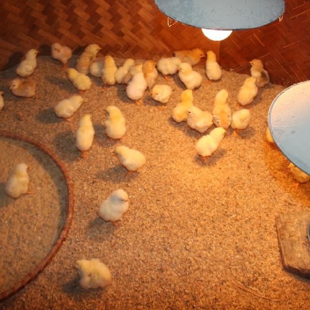 Biểu hiện và cách điều trị bệnh khô chân, khô mỏ, xù lông ở gà con