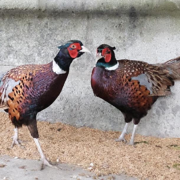 Kinh nghiệm xác định giới tính chim trĩ