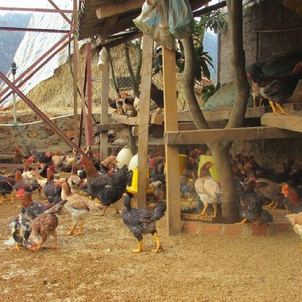 Một số bệnh phổ biến ở gà và phác đồ điều trị