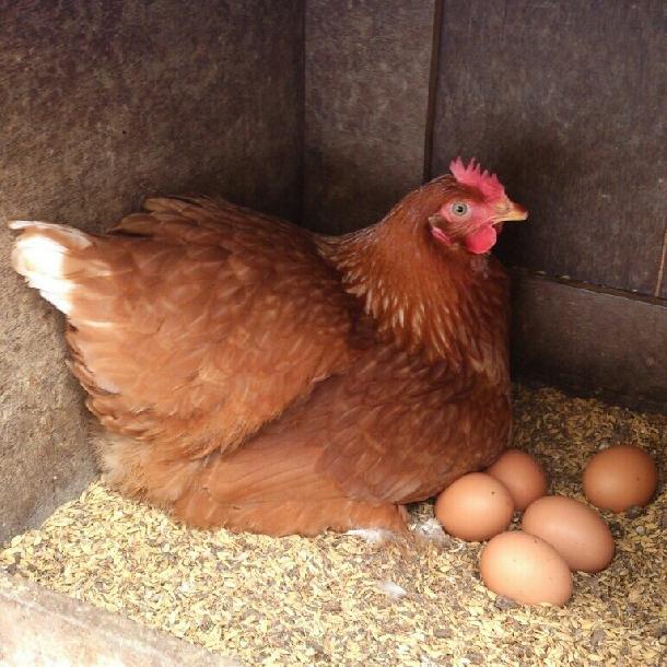 Hội trứng gà giảm đẻ và biện pháp năng cao tỷ lệ đẻ và chất lượng trứng gà