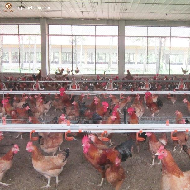 Mô hình nuôi gà ri công nghiệp