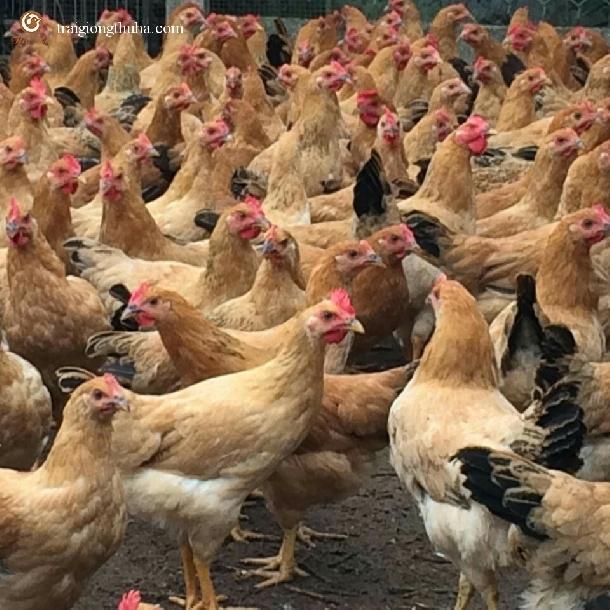 Một số tổ hợp gà lai phổ biến trên thị trường