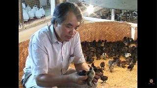 Video hướng dẫn chăn nuôi gà H'Mông